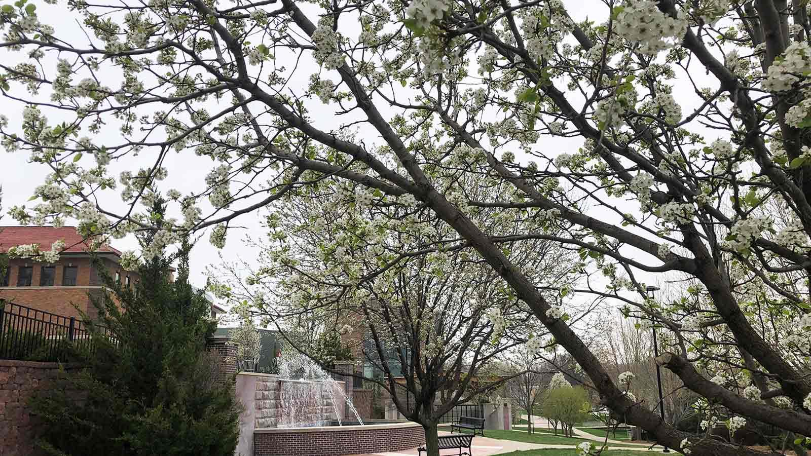 Flowering trees in bloom around the fountain at Morningside University.